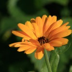 photo of orange marigold, creative healing arts through photography